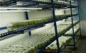 甘蔗健康种苗工厂化生产