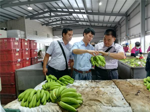 参观香蕉采后处理流程
