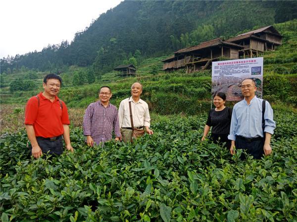 在安太乡江竹村原生态保护茶园基地测产