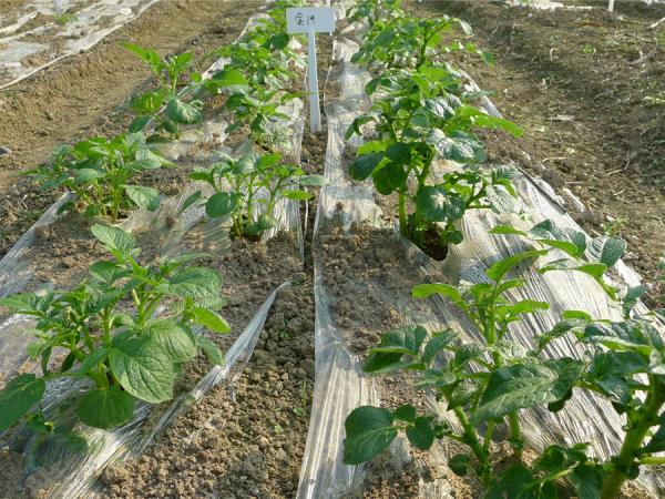 马铃薯栽培