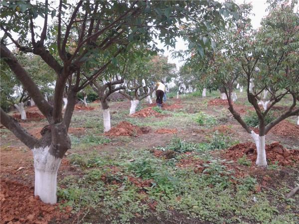 杨桃管理挖坑施肥