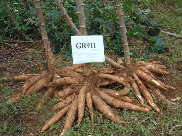 GR911--木薯品种