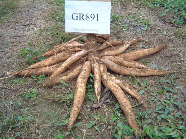 GR891-木薯品种