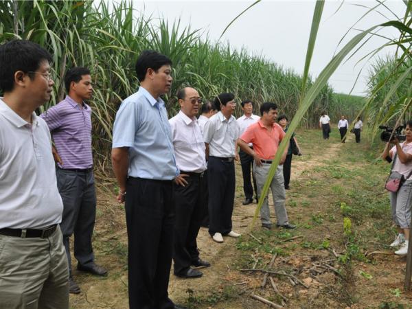 农垦局领导考察指导甘蔗生产